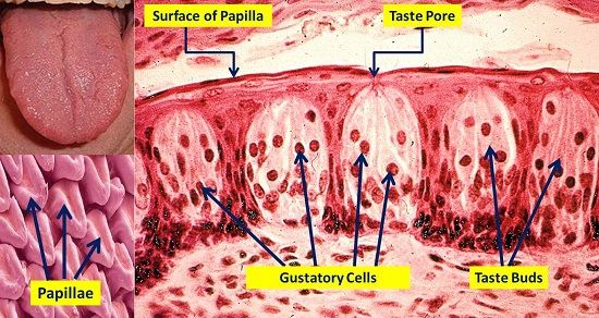 Taste buds are microscopic structures located on the papillae of your tongue. The papillae are the macroscopic structures that give the surface of your tongue its fuzzy appearance. Taste buds contain... Learn more @ biologycoachonlineblog.webs.com