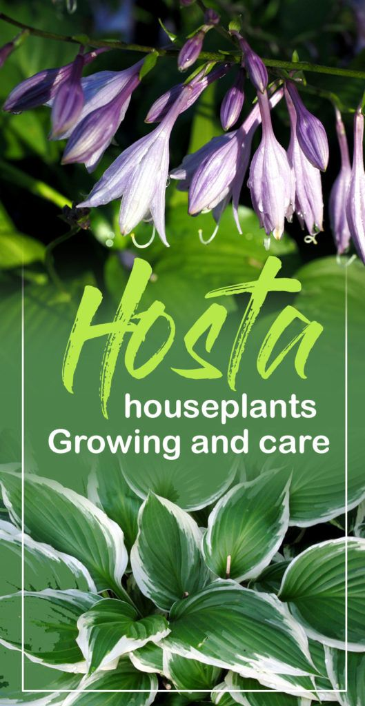 How To Grow Hosta Plant Gardening Hosta Plants Plants Hosta Care