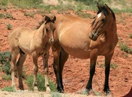 Wild Mustangs in Wyoming