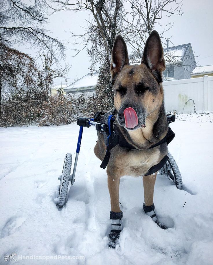 Happy #TongueOutTuesday from Blaize! @rachel_storm  #walkinwheels