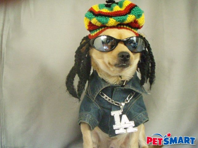 Reggae Jamaican Chihuahua Chihuahua Love Dogs
