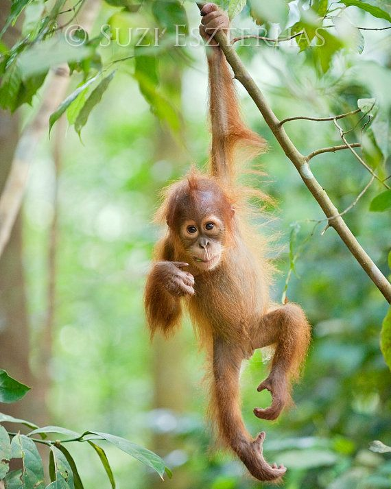 Baby Animal Photography, CUTE BABY ORANGUTAN Photo Print , Wildlife Photograph, Jungle Nursery Art, Kids Room, Monkey, Green, Baby Shower