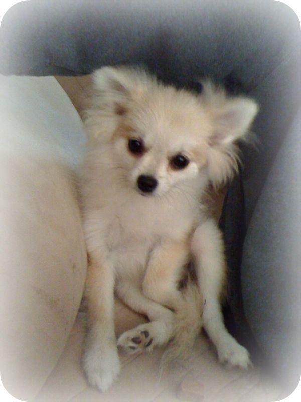 Best 25+ Pomeranian breeders ideas on Pinterest ...