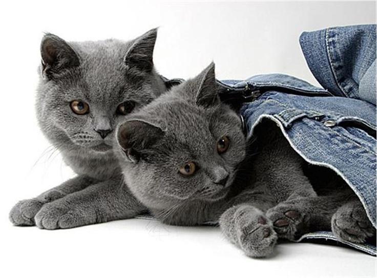 Grijze/blauwe katten zijn echt geweldig.