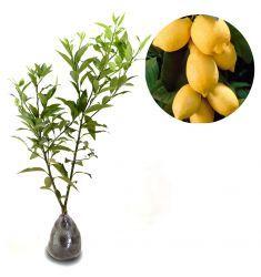 Jeruk Lemon IMPOR 60cm Rp 135,000