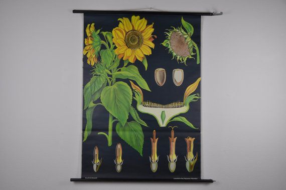 Vintage Pull Down School grafiek. Zonnebloem. Bloem. Gele. Zonnige. Botanische. Jung Koch Quentell. Duitsland. Klas Wall Chart. 1074