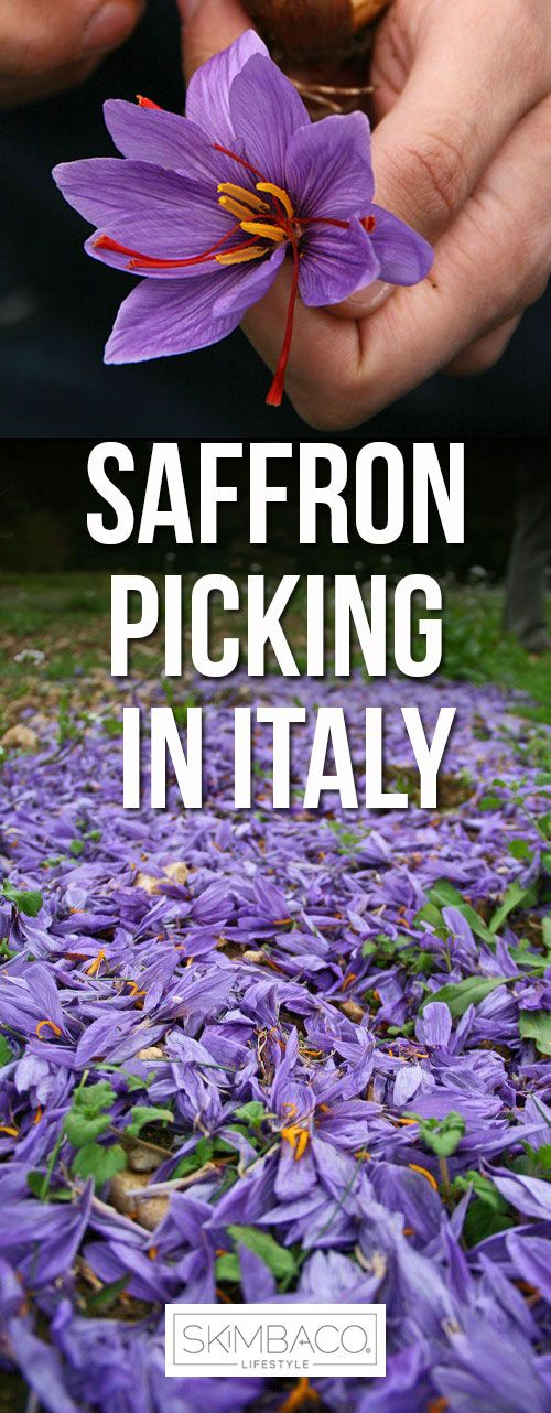 It can take up to 250,000 flowers to make one pound of saffron spice, and even the price of saffron isn't measured by stems of flowers, but by grams or ounces.  I visited the Abruzzo region in Italy to find saffron in the fields of Navelli, in the province of L'Aquila. Navelli is about a two-hour-drive to east from Rome, and is known for the best saffron in Italy.