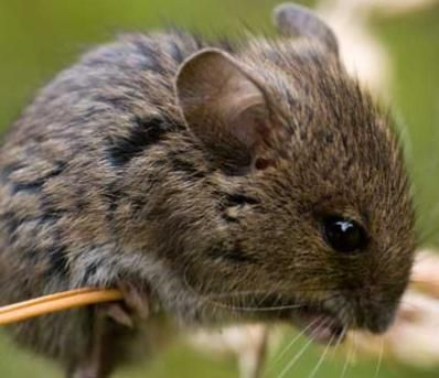 9 best Rodent Types images on Pinterest