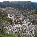 Ruta senderista de los almendros en flor en Málaga en La Opinión de Málaga