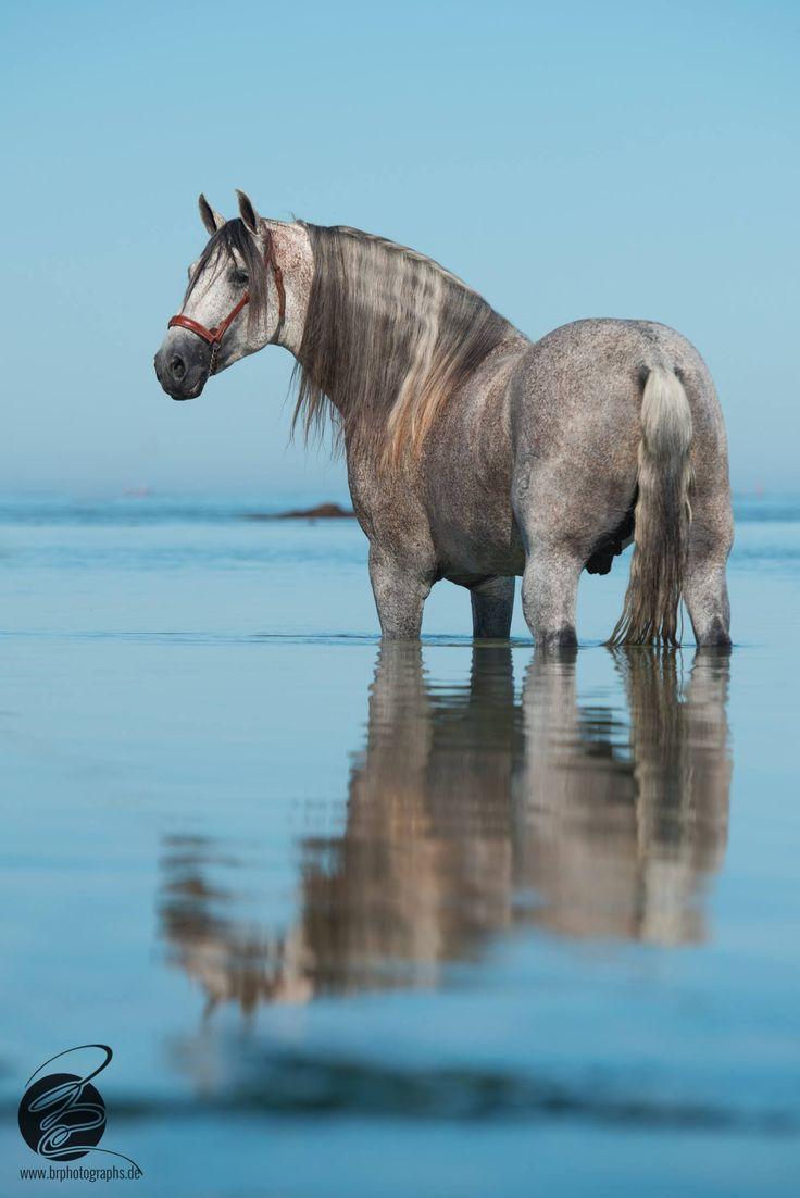 — Dapple grey horse in the ocean.
