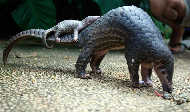 A baby pangolin is called a pangopup and this one is asleep on its mummy's tail