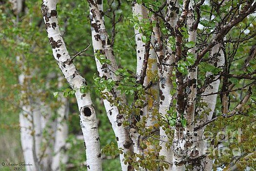 Miracles of spring - Laponia 2015. by Goszcz Andrzej