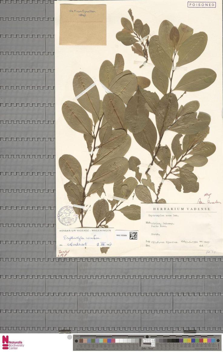 WAG.1930899 | Erythroxylum coca Lam. var. ipadu Plowman