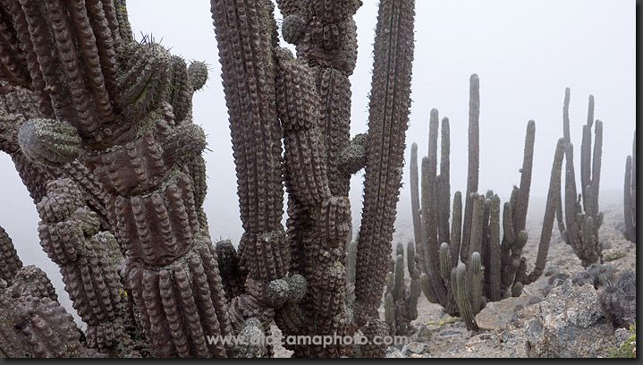 At an isolated location on the Mejillones Peninsula near Antofagasta grows this subspecies of Echinopsys, the Echynopsis morromorensis. The area has recently been declared National Park Morro Moreno.