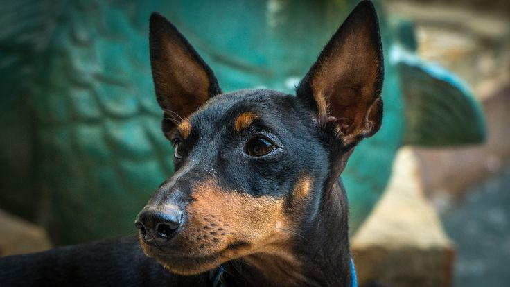 All sizes | Buddy (Toy Manchester Terrier) | Flickr - Photo Sharing!