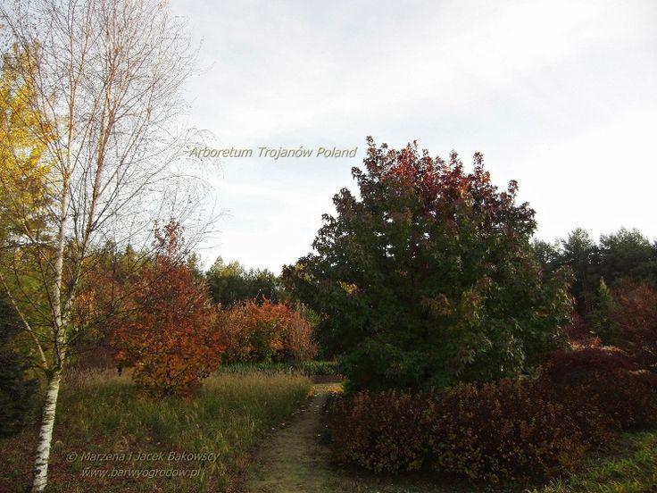Arboretum Trojanów Poland Liquidambar styraciflua Ambrowiec