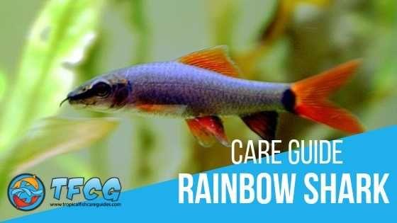 Rainbow Shark Care Guide Tankmates Size Food Lifespan Breeding Freshwater Sharks Shark Fishing Shark