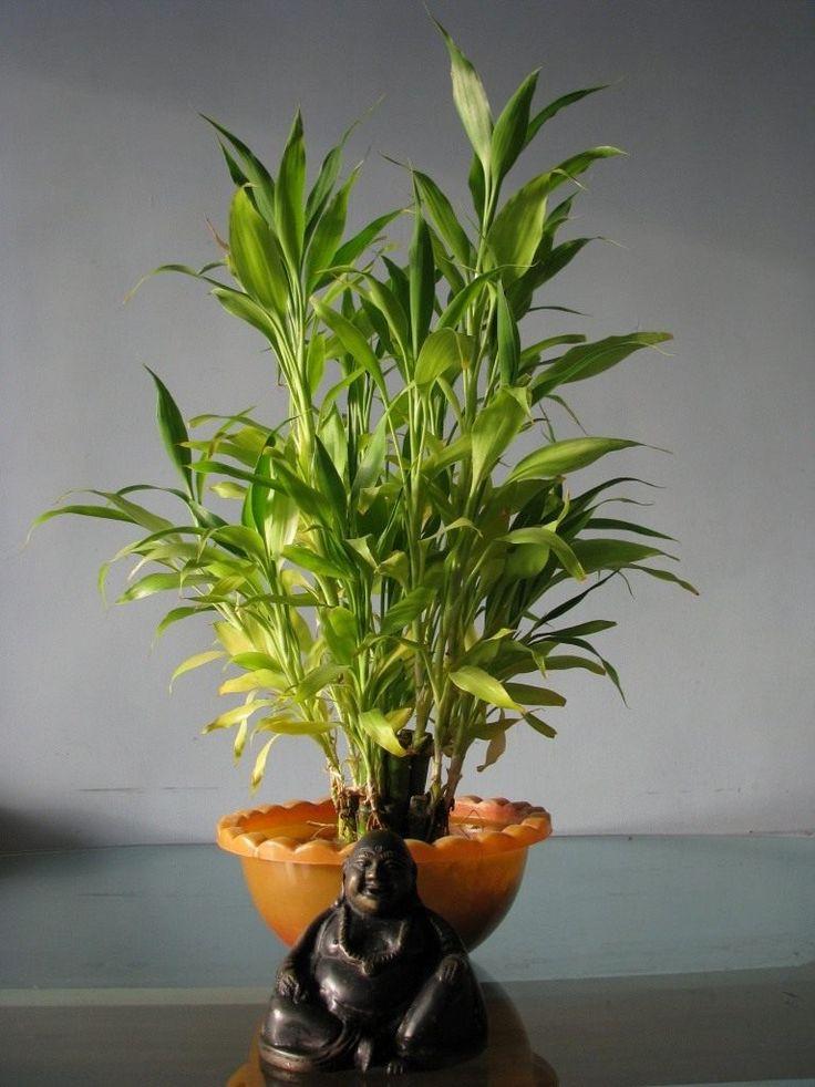 Драцена Сандера, или «бамбук счастья» | Бамбук, Комнатные ...