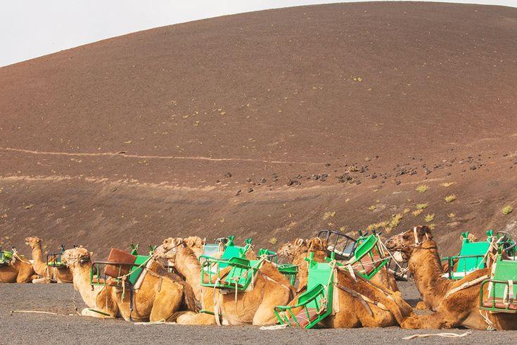 Traveling in Lanzarote - Timanfaya National Park's camels