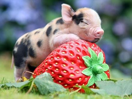 a baby pig and a strawberry ♥