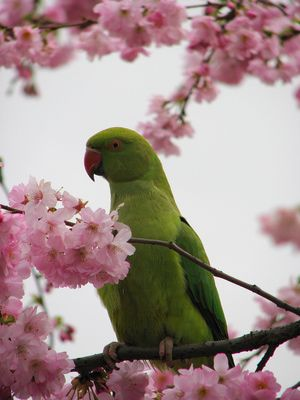 London Wildlife - Where to See Birds and Animals in London: Parakeets