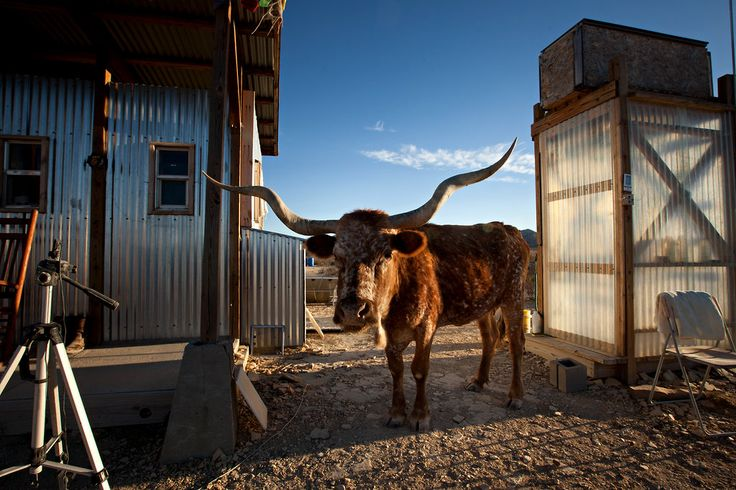 Benita, a longhorn cow. Photo: Tony Cenicola/The New York Times: Longhorns Visitor, Desert Gardenista, Desert You Spend, Gardens Happy, Longhorns Cow, West Texas, Photo, Texas Desert You, Michele Slatalla Gardenista