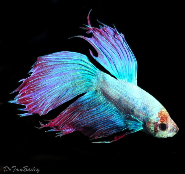 Unique male betta fish goldfish betta koi arowana for Male koi fish