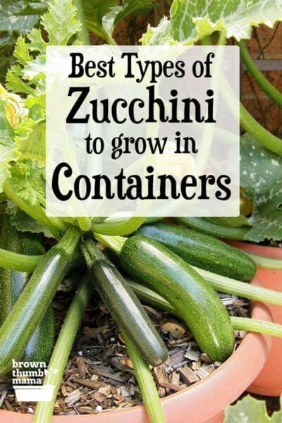 Best Types Of Zucchini To Grow In Containers In 2020 400 x 300
