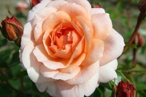 1046 best orange roses images on pinterest orange roses. Black Bedroom Furniture Sets. Home Design Ideas