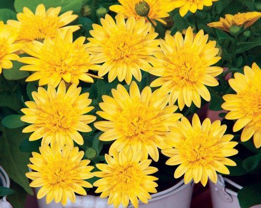Osteospermum 3D Mixed #pohlmansnursery #livingcolour #gardening #Australia