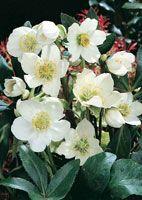 Piante ombra - fioritura invernale - Rosa di Natale vivace