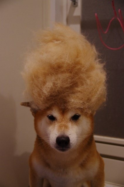 Shibainu Dog's Party Hairdo