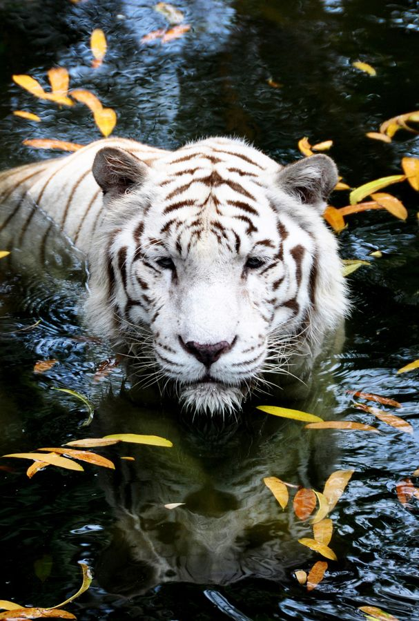 White Bengal Tiger ~ by Jane Chuah