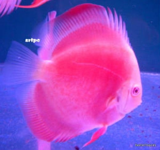 261 best fresh water discus fish images on pinterest for Pink fish tank