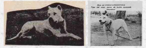 The Cordoba Fighting Dog  The Cordoba was a crossbreed of Spanish Mastiff and British and American fighting dogs that would become the American Pit Bull Terrier and the Staffordshire Bull Terrier....