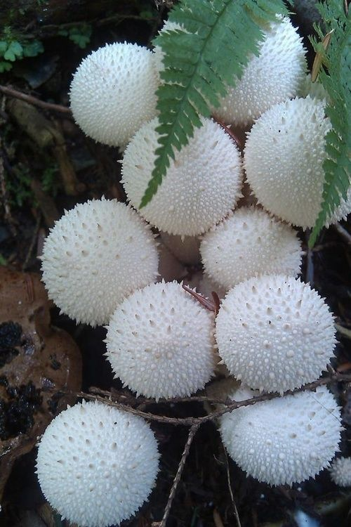 """Lycoperdon Perlatum. Known as puffball, it belongs to the family Agaricaceae. It is a medium-sized puffball, 1.5 to 6 cm (0.6 to 2.4"""") wide by 3 to 7 cm (1.2 to 2.8"""") tall. When mature it becomes brown, and a hole in the top opens to release spores. It grows in fields, gardens, and along roadsides, as well as in grassy clearings in woods. It is edible when young although care must be taken to avoid confusion w immature fruit bodies of poisonous Amanita species."""