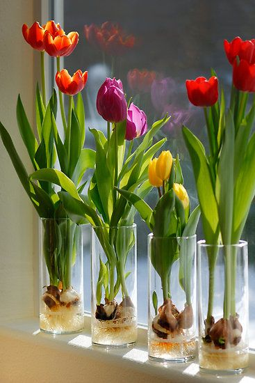 Indoor Tulips . . . Step 1 - Fill a glass container about 1/3 of the way with glass marbles or decorative rocks. Clear glass will enable you to watch the roots develop . . . Step 2 - Set the tulip bulb on top of the marbles or stones; pointed end UP. Add a few more marbles or rocks so that the tulip bulb is surrounded but not covered (think support). . .Step 3 - Pour fresh water into the container. The water shouldn't touch the bulb, but it should be very close, so that the roots will grow into the water. . . Step 4 - Put the container in a dark, cool room where the temperature is between 40 and 45 degrees F (your garage or attic maybe?). Check the container occasionally and if necessary, add water to bring the level up. Be sure the bulb doesn't actually sit in the water, because the bulb will rot. . . Step 5 - Move the container to a sunny window sill after it's been in the dark for a minimum of 12 weeks. If you can leave it for 16 weeks, the blooms will be even larger. The tulips will bloom within a month.