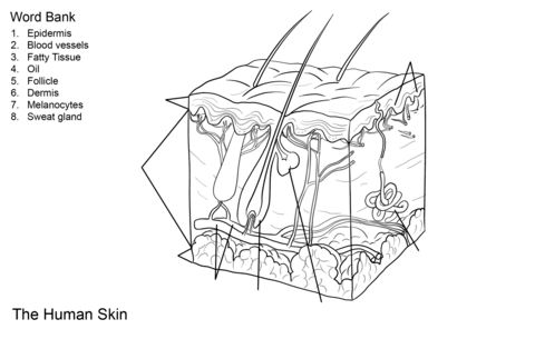 Human Skin Anatomy Worksheet coloring page from Anatomy category. Select from 24104 printable crafts of cartoons, nature, animals, Bible and many more.