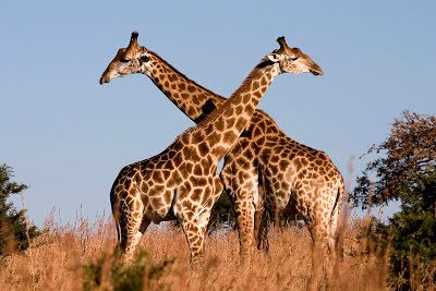 Both male and female giraffes have horns. Giraffe horns are framed from hardened (cartilage that has converted into bone) and consequently the horns of giraffes are likewise called ossicones. The ossicones of giraffes remain secured by skin and hide. Ossicones can serve to recognize between male and female giraffes. Females have tufts of hair on the highest point of the ossicones.