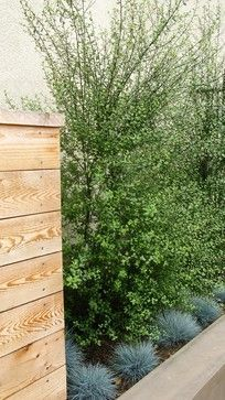 pittosporum T silver sheen kohuhu southern california - Google Search