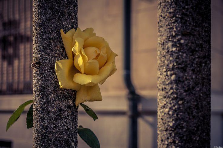 la rosa gialla e la vespa - quella rosa gialla era così bella da sembrare finta. E credo lo pensasse anche la vespa...