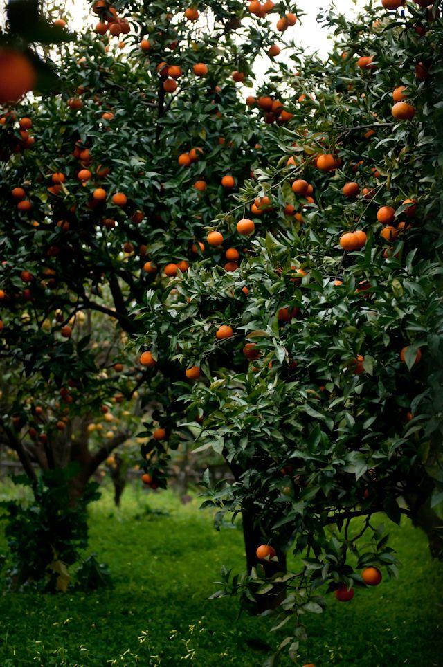 orange groves | Desserts for Breakfast