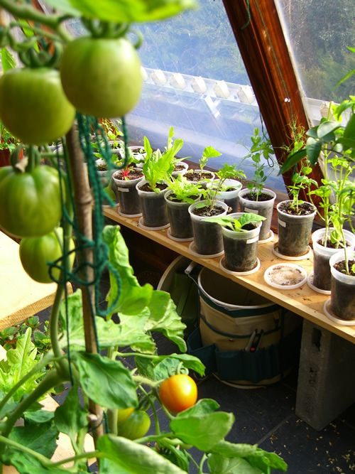 Tomato indoor vegetable garden for the garden pinterest for Growing vegetables indoors