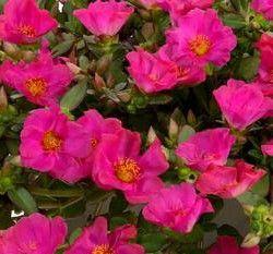 Portulaca oleracea 'Pazazz™ Fuchsia' (Moss Rose)