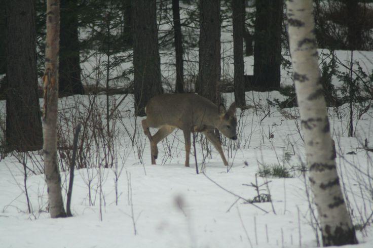 Young deer enters the garden