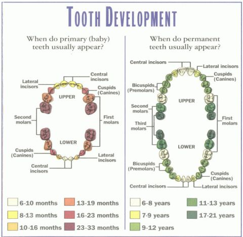 Baby Tooth Development Chart  Repinned by www.GreenbrierDental.com