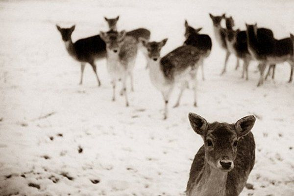 would like to have a picture like this in my livingroom. oh my deer!Photographers, Stunning Photography, Baby Deer, Winter, Nature, Snow, Creatures, Gardens, Animal