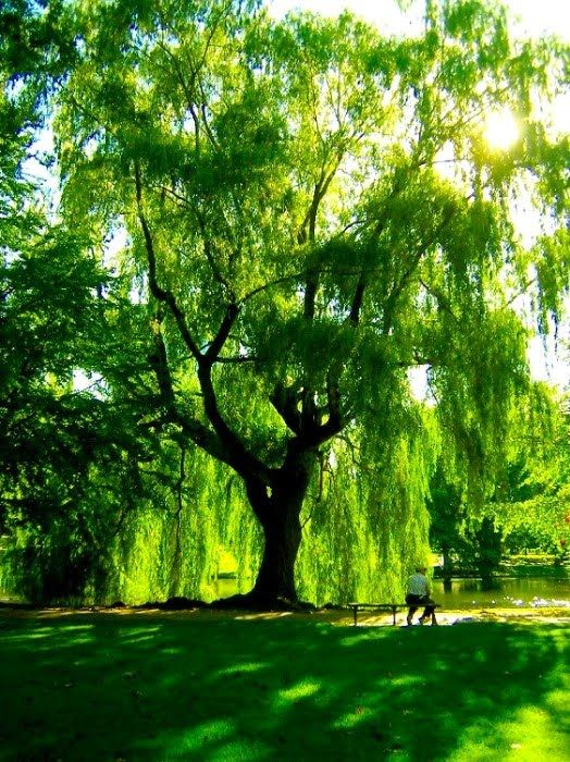 I've just always loved Weeping Willows and if I could have a house with a pond then I'd love to have some.