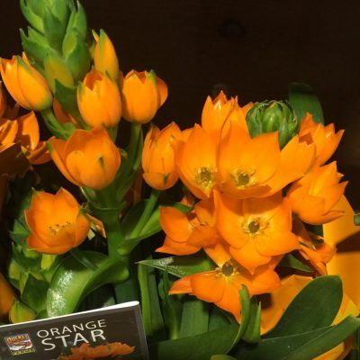 Growing Orange Star Plants: Tips On Caring For An Orange Star Plant - The orange star plant is a flowering bulb plant native to South Africa. It's hardy in USDA zones 7 through 11 and produces stunning clusters of bright orange flowers. Click this article to learn more orange star plant information.