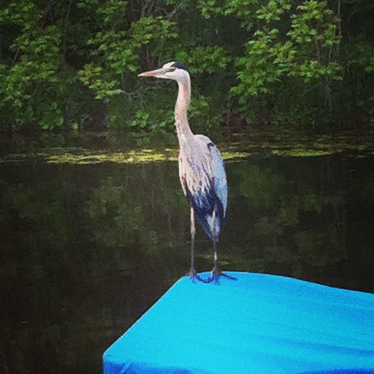 Friendly neighbor. Great Blue Heron